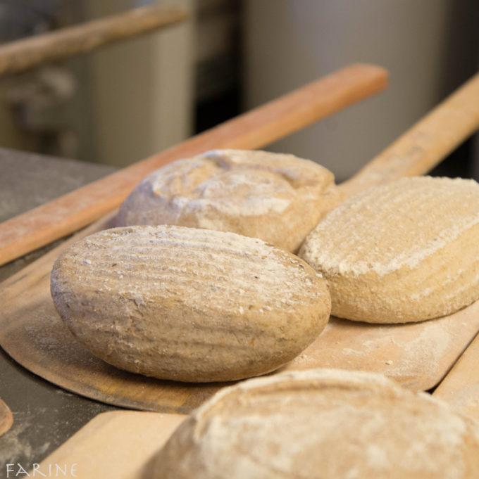 Sonora wheat